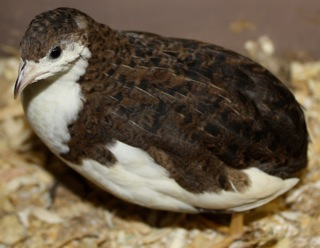 to 12 Learning Materials and PRC Results: Breeds of Quails